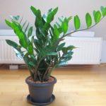 Декоративно — лиственное растение Замиокулькас: уход в домашних условиях, особенности полива, освещение, пересадка и способы размножения