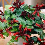 «Искаженный цветок» Эсхинантус: уход в домашних условиях, размножение тропической культуры с цветками насыщенного окраса