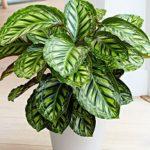 «Молитвенный цветок» Калатея: уход в домашних условиях, фото и особенности выращивания растения с декоративными пестрыми листьями
