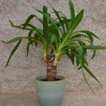 Комнатное древовидное растение Юкка: уход в домашних условиях, создание необходимых условий для выращивания вечнозеленой культуры