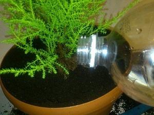 комнатный кипарис полив