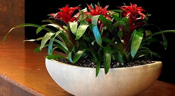 цветок гузмания уход в домашних условиях