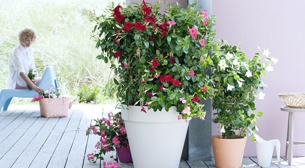 дипладения выращивание и уход в домашних условиях