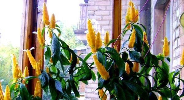 пахистахис желтый уход в домашних условиях фото