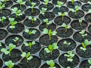 декоративная капуста выращивание из семян