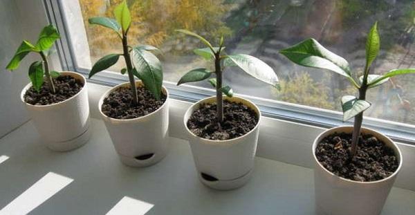 плюмерия из семян в домашних условиях