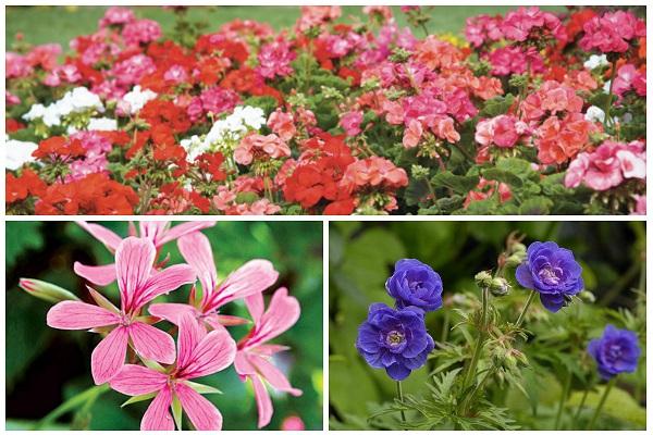 герань садовая многолетняя посадка и уход