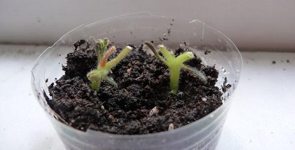 сенполия размножение цветоносами