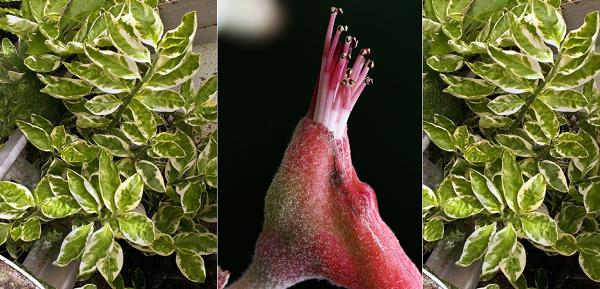 педилантус цветение