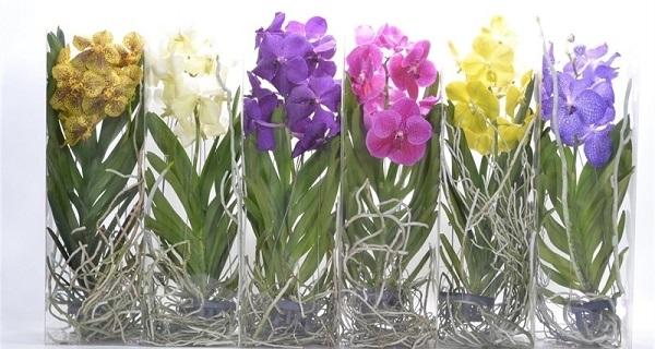 орхидей Ванда виды