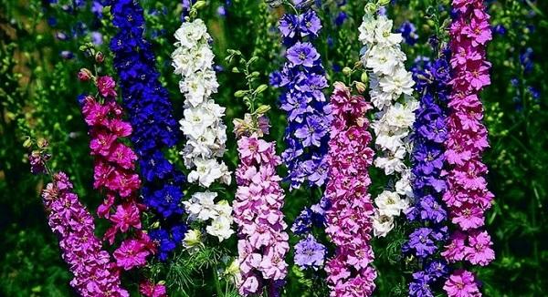 цветы дельфиниум