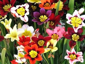 цветы спараксис посадка и уход фото