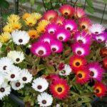 «Полуденный цветок» Мезембриантемум: посадка и уход в открытом грунте, фото, виды и сорта культуры для выращивания на участке