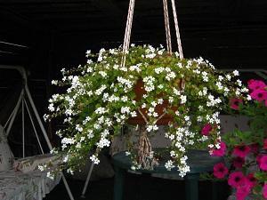 бакопа травянистые растения для открытого грунта