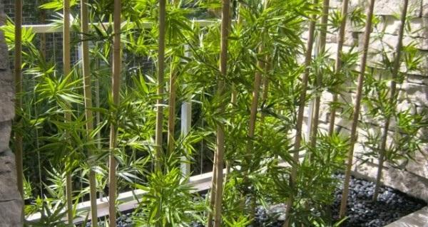 бамбук лаки комнатные растения
