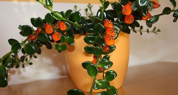 гипоцирта голая комнатные растения