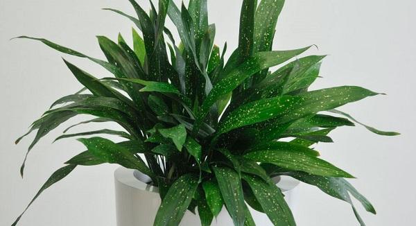 комнатные растения аспидистра