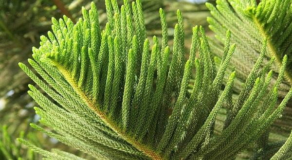 араукария разнолистная комнатные растения