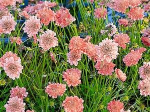 скабиоза выращивание из семян