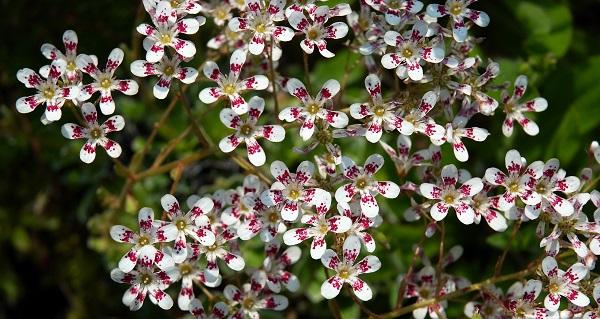 камнеломка цветок