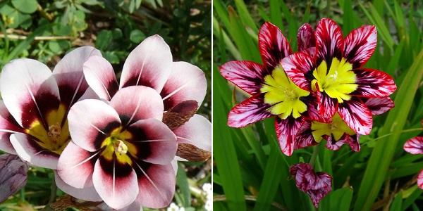 спараксис выращивание и уход в саду фото