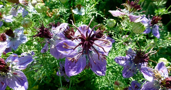 нигелла цветок