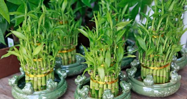 бамбук счастья комнатные растения