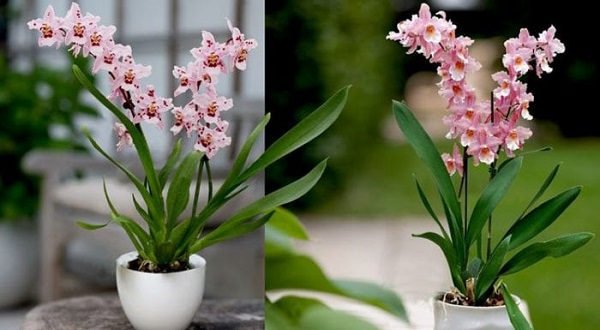 камбрия цветок