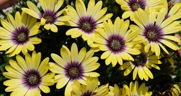 остеоспермум фото цветов