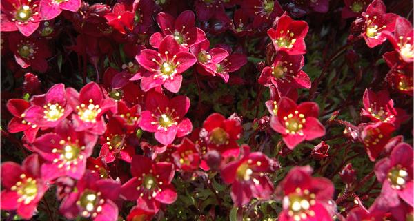 камнеломка фото цветов
