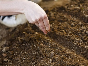 наперстянка выращивание из семян