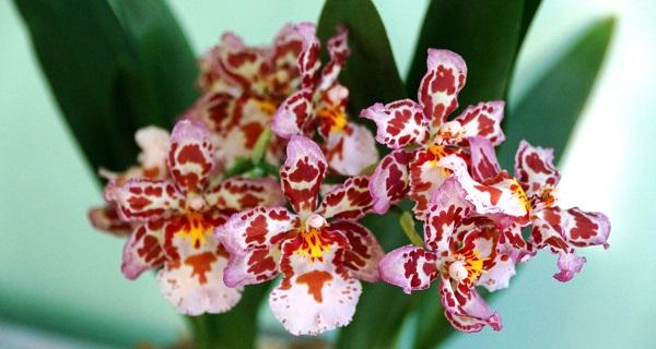 орхидея камбрия уход