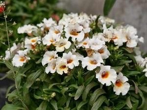 немезия выращивание из семян в домашних условиях