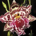 Орхидея Камбрия: уход в домашних условиях, особенности выращивания гибридной разновидности «тропической красавицы»