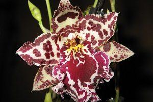как выращивать Орхидею Камбрия в горшке