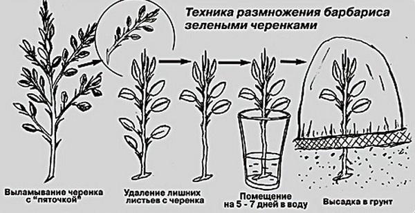 барбарис амурский декоративные деревья и кустарники