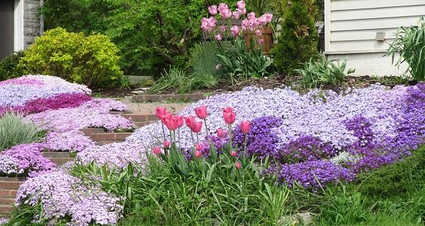 цветы обриета посадка и уход фото