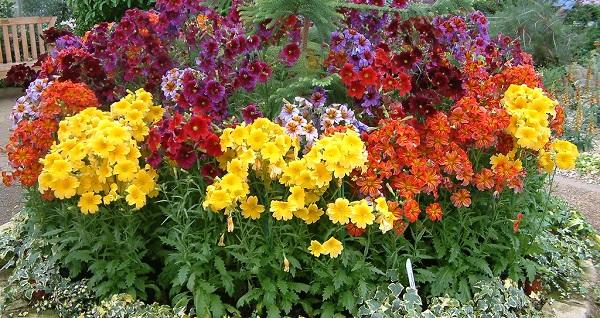 сальпиглоссис фото цветов