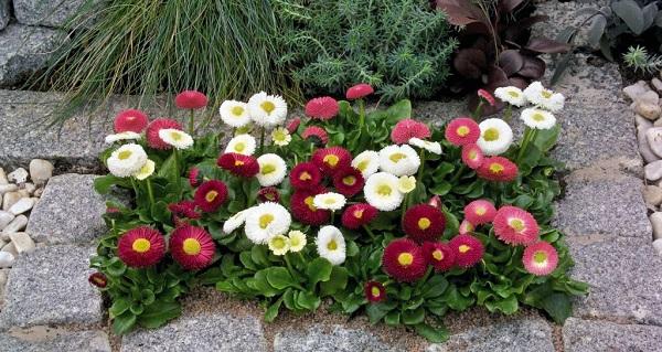маргаритка цветок