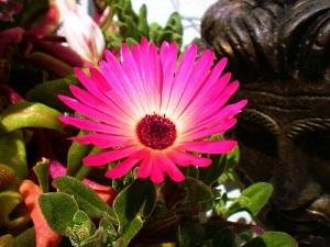цветок мезембриантемум