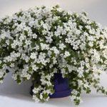 Сутера или Бакопа: уход и выращивание, нюансы содержания для эффектного цветения и роскошного вида растения