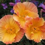 Калифорнийский мак или Эшшольция: выращивание из семян, когда сажать и как ухаживать за эффектным цветком