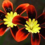 Экзотический Спараксис: посадка и уход в открытом грунте, фото, особенности выращивания растения с яркими бутонами разнообразных цветов и оттенков на длинной ножке