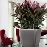 «Миниатюрная драцена» Кордилина: уход в домашних условиях за ложной пальмой с роскошной декоративной листвой