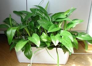 как выращивать комнатный Дримиопсис