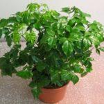 Изумрудное дерево Радермахера: уход в домашних условиях за оригинальным комнатным растением с красивой глянцевой листвой