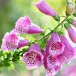 Дигиталис или Наперстянка: посадка и уход в открытом грунте, фото растения с роскошными пирамидальными соцветиями-кистями и множественными листьями