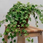 Хедера или Плющ комнатный: уход в домашних условиях, нюансы выращивания растения с декоративными листьями и вьющимися побегами