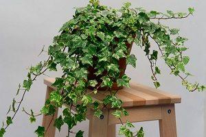 правила выращивания комнатного плюща
