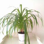 Винтовая пальма или Панданус: уход в домашних условиях, особенности выращивания оригинального тропического растения